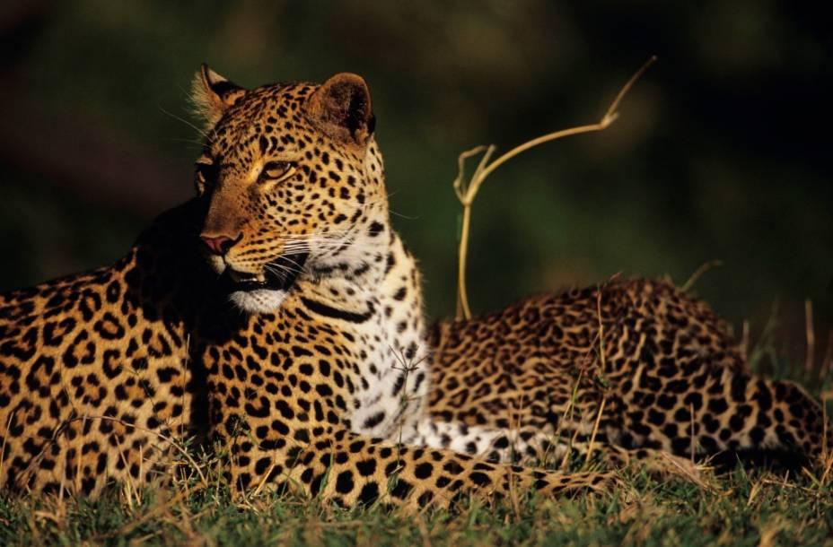 O elegante leopardo é provavelmente o mais difícil de ser avistado dos grandes cinco animais africanos, grupo que conta também com leão, elefante, búfalo e rinoceronte. Habitante de florestas e savanas de África e Ásia, sua população vem diminuindo em anos recentes