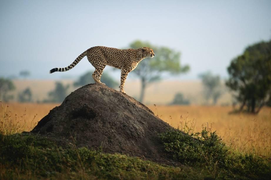 O guepardo, também conhecido como cheetah, é o mais rápido animal terrestre, alcançando velocidades de até 120 km/h
