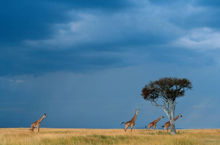 Grupo de girafas nas savanas do Parque Masai Mara, no Quênia. Dentre seus alimentos favoritos estão as espinhosas folhas da acácia, sempre localizadas em altas copas que só os longos pescoços podem alcançar