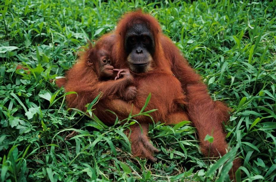 O oragontango (gênero <em>Pongo</em>) é o maior primata asiático e habita as florestas tropicais de Bornéu e Sumatra, entre Indonésia e Malásia. Sua pelagem fulvo-avermelhada e seu jeito bonachão contribuem para sua singularidade. Hoje a espécie está fortemente ameaçada pela destruição de seu habitat, liderada por plantações de palma que alimentam a indústria de cosméticos e alimentos