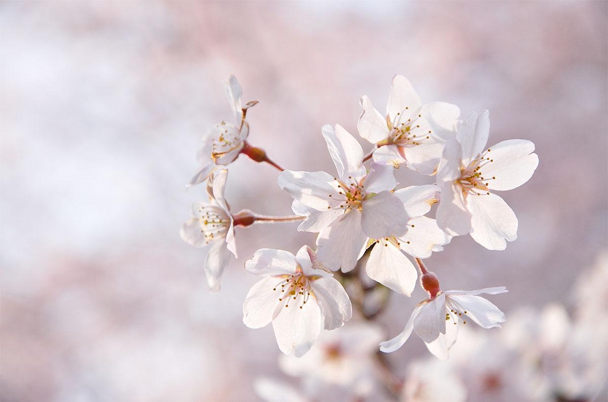 Flor de cerejeira no parque Rikugien, em Tóquio, Japão