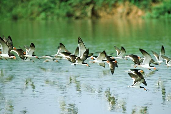 "<strong>Pantanal (MT/MS)</strong> As mais de 650 espécies de aves catalogadas na região são apenas um dos motivos para conhecer o Pantanal.Pesca, safári fotográfico e focagem noturna de animais estão entre os programas mais procurados.<a href=""https://www.booking.com/searchresults.pt-br.html?aid=332455&sid=605c56653290b80351df808102ac423d&sb=1&src=searchresults&src_elem=sb&error_url=https%3A%2F%2Fwww.booking.com%2Fsearchresults.pt-br.html%3Faid%3D332455%3Bsid%3D605c56653290b80351df808102ac423d%3Bcity%3D900040389%3Bclass_interval%3D1%3Bdest_id%3D-657494%3Bdest_type%3Dcity%3Bdtdisc%3D0%3Bfrom_sf%3D1%3Bgroup_adults%3D2%3Bgroup_children%3D0%3Binac%3D0%3Bindex_postcard%3D0%3Blabel_click%3Dundef%3Bno_rooms%3D1%3Boffset%3D0%3Bpostcard%3D0%3Braw_dest_type%3Dcity%3Broom1%3DA%252CA%3Bsb_price_type%3Dtotal%3Bsearch_selected%3D1%3Bsrc%3Dsearchresults%3Bsrc_elem%3Dsb%3Bss%3DNovo%2520Air%25C3%2583%25C2%25A3o%252C%2520Amazonas%252C%2520Brasil%3Bss_all%3D0%3Bss_raw%3DNovo%2520Air%25C3%25A3o%3Bssb%3Dempty%3Bsshis%3D0%3Bssne_untouched%3DMorro%2520de%2520S%25C3%25A3o%2520Paulo%26%3B&ss=Pantanal%2C+Brasil&ssne=Novo+Air%C3%A3o&ssne_untouched=Novo+Air%C3%A3o&city=-657494&checkin_monthday=&checkin_month=&checkin_year=&checkout_monthday=&checkout_month=&checkout_year=&group_adults=2&group_children=0&no_rooms=1&from_sf=1&ss_raw=Pantanal&ac_position=0&ac_langcode=xb&dest_id=4241&dest_type=region&place_id_lat=-20.038509&place_id_lon=-56.5315&search_pageview_id=d5297a80deed00ac&search_selected=true&search_pageview_id=d5297a80deed00ac&ac_suggestion_list_length=5&ac_suggestion_theme_list_length=0"" target=""_blank"" rel=""noopener""><em>Busque hospedagens no Pantanal</em></a>"