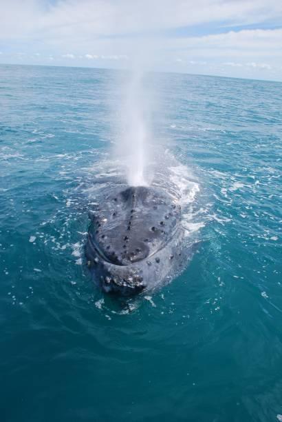 As jubartes estão presentes em todos os oceanos e durante a fase adulta elas pode medir até 16 metros e pesar 40 toneladas