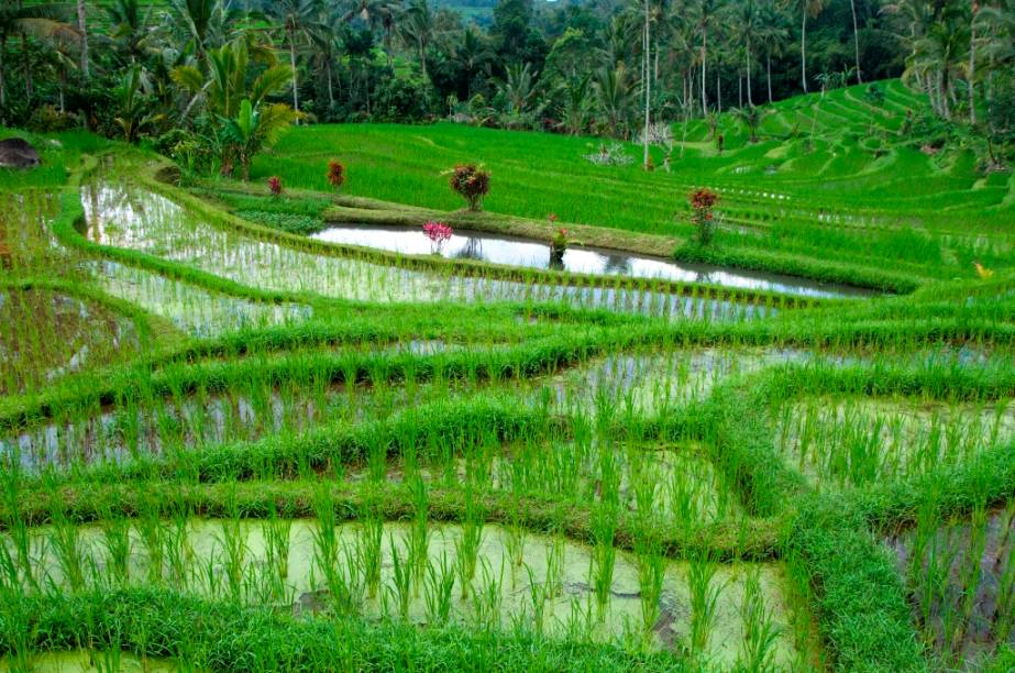 O arroz é parte fundamental da alimentação dos indonésios e cada centímetro de terra é utilizado para plantá-los em terraços alagados, como aqui, em Bali