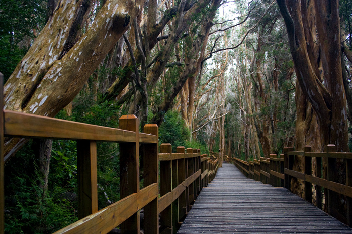 Bariloche é um dos pouquíssimos lugares onde o arrrayán, normalmente um arbusto, toma a forma de uma árvore