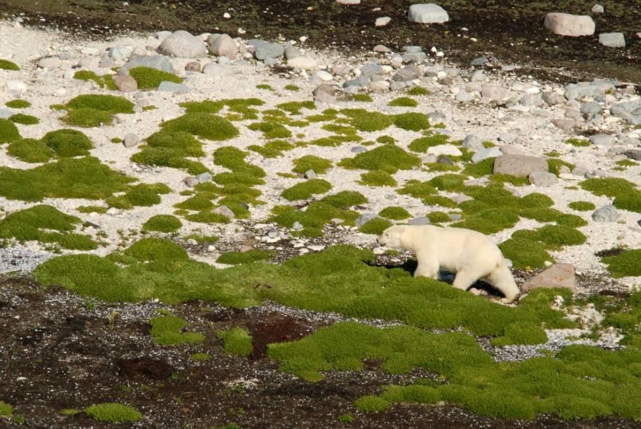 Urso Polar em Churchill, Manitoba
