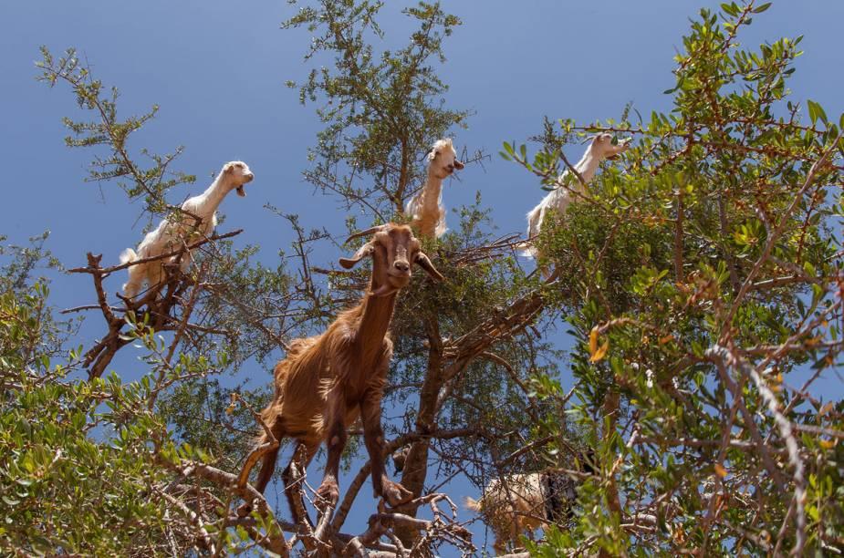 Perto da cidade marroquina de Essaouira, as cabras costumam subir nos galhos de argan, árvore famosa por produzir óleo hidratante para o cabelo, para comer as frutas