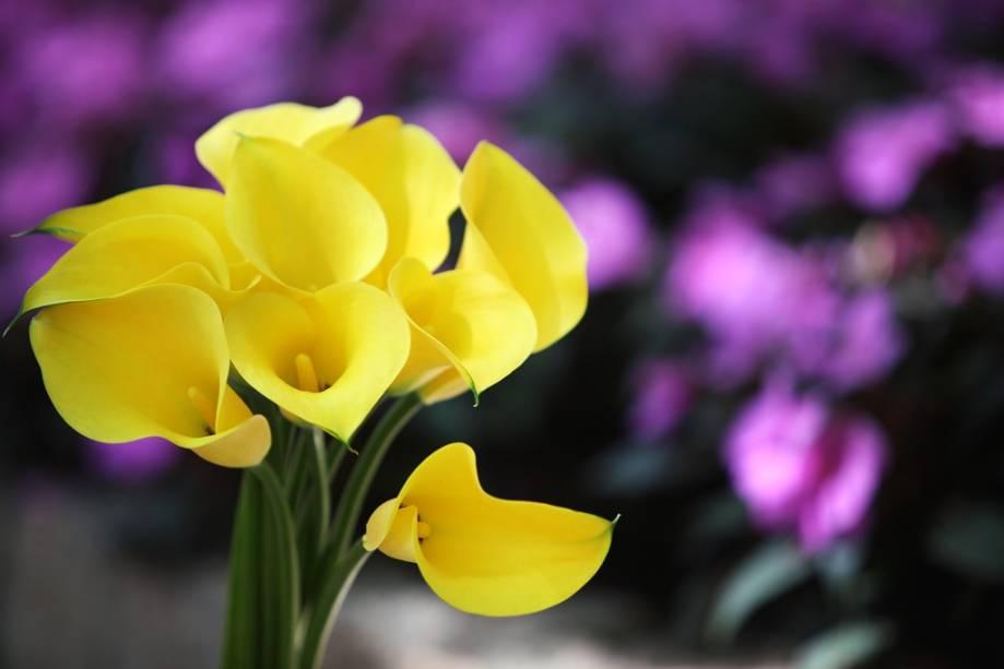 Os produtores da região de Holambra sempre novidades para o mercado de flores, como a Callas amarela