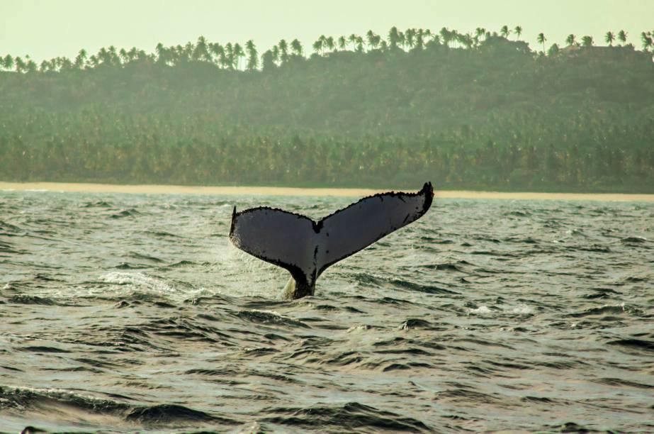 Outro momento de grande expectativa envolve o canto das baleias. Mas vale lembrar que elas não fazem isso sem um motivo: na verdade, os machos da espécie cantam unicamente em função de chamar a atenção das fêmeas