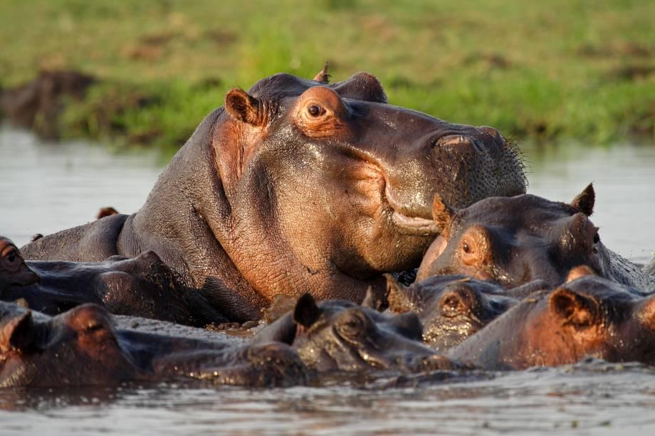 Durante os safáris é possível avistar hipopótamos.