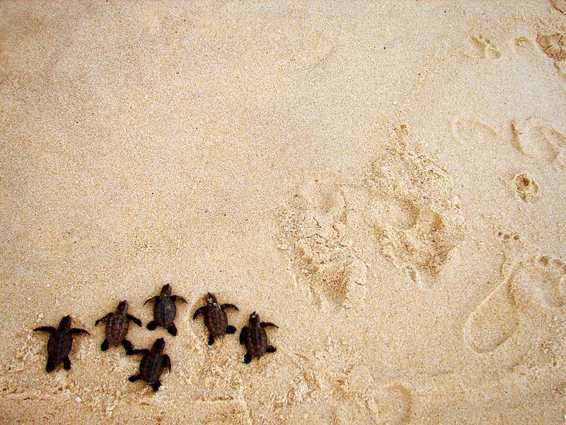 Filhotes de tartaruga aventuram-se nas areias da Praia de Cotovelo, no litoral sul de Natal, Rio Grande do Norte.