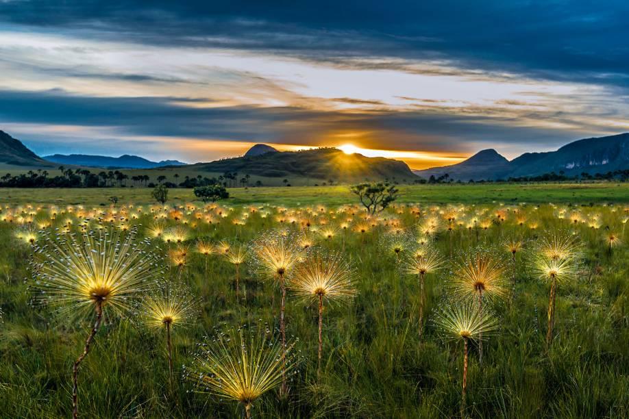 """1. <a href=""""http://viajeaqui.abril.com.br/cidades/br-go-chapada-dos-veadeiros"""" rel=""""Parque Nacional da Chapada dos Veadeiros"""" target=""""_blank"""">Parque Nacional da Chapada dos Veadeiros</a>A sempre-viva é um tipo de flor muito comum no cerrado. Há várias espécies, entre elas a <em>Paepalanthus chiquitensis herzog</em>, ou """"chuveirinho"""", que forra o chão do Parque Nacional da Chapada dos Veadeiros, em Goiás, entre os meses de maio e junho. """"Primeiro, pesquisei sobre a floração dessa espécie e, então, passei alguns dias rodando dentro do parque, buscando grandes campos de sempre-viva"""", diz Dib. """"Depois que encontrei, voltei várias vezes até buscar a luz ideal, num amanhecer, em que as flores ganham este aspecto brilhante."""""""
