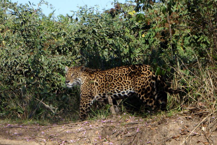 Onça-pintada no Pantanal Mato-Grossense