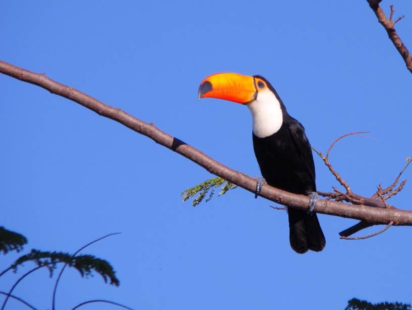 Tucano-toco, no Pantanal Mato-Grossense
