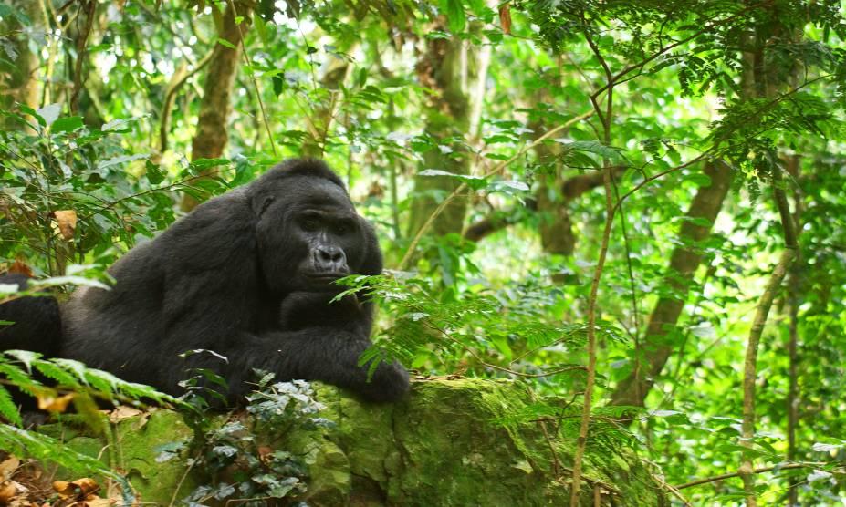 <strong>22. Floresta Impenetrável de Bwindi, Uganda</strong>            Localizada nas montanhas do extremo sudoeste do país, essa floresta de 32 mil hectares é tombada como Patrimônio Mundial da UNESCO. Não à toa: há mais de 200 espécies de árvores, além de uma quantidade enorme de pássaros e borboletas. No entanto, as grandes estrelas do local são os belos e impressionantes gorilas da montanha, já que cerca de um terço da população mundial da espécie, ameaçada de extinção, está localizada aqui. Ou seja: literalmente selvagem. E lindo!