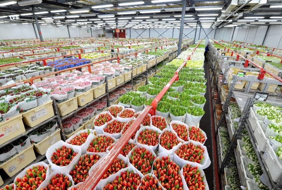 """<strong>Mercado de Flores de Aalsmeer, Holanda</strong> Localizado a poucos quilômetros da capital Amsterdã, Aalsmeer fica estrategicamente próxima ao aeroporto de Schiphol e da maior área produtora de tulipas da <a href=""""http://viajeaqui.abril.com.br/paises/holanda"""" target=""""_blank"""" rel=""""noopener"""">Holanda</a>, Rijnland. Neste gigantesco <a href=""""http://viajeaqui.abril.com.br/estabelecimentos/holanda-amsterda-atracao-leilao-de-flores-de-aalsmeer"""" target=""""_blank"""" rel=""""noopener"""">mercado de flores </a>– o maior do mundo, negociantes participam de um dos mais inusitados leilões do mundo. Carrinhos repletos de flores – previamente inspecionados – passam em frente aos compradores, que deverão fazer seus lances. Detalhe: o preço vai do mais alto para o mais baixo, ou seja, há apenas um lance vencedor. Como os lotes passam numa velocidade frenética, a tensão é permanente.Mais em: <a href=""""http://viajeaqui.abril.com.br/materias/48-horas-em-amsterda#"""" target=""""_blank"""" rel=""""noopener"""">48 Horas em Amsterdã</a>"""