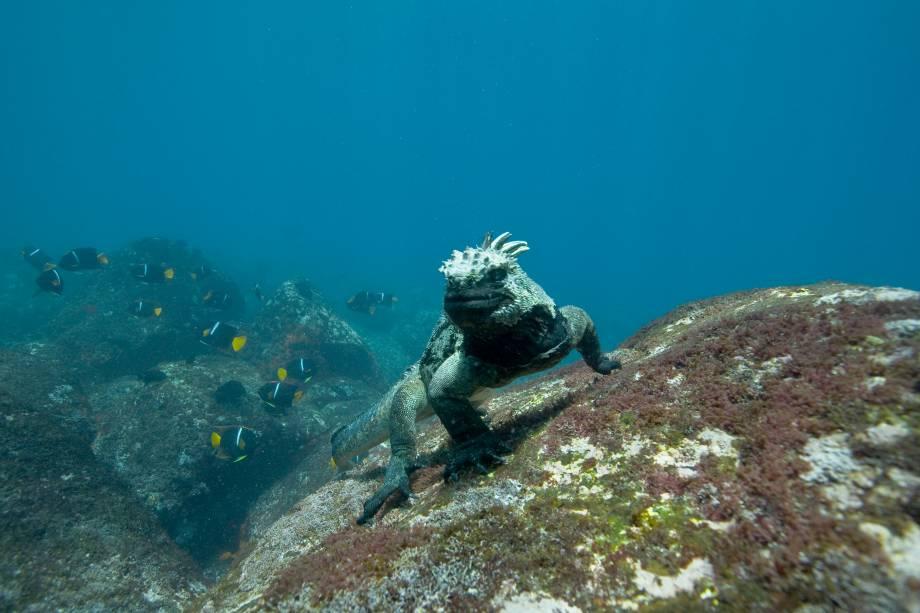 Iguana-marinha, nas Ilhas Galápagos; na mostra serão expostas 35 fotos captadas na produção do filme Oceanos