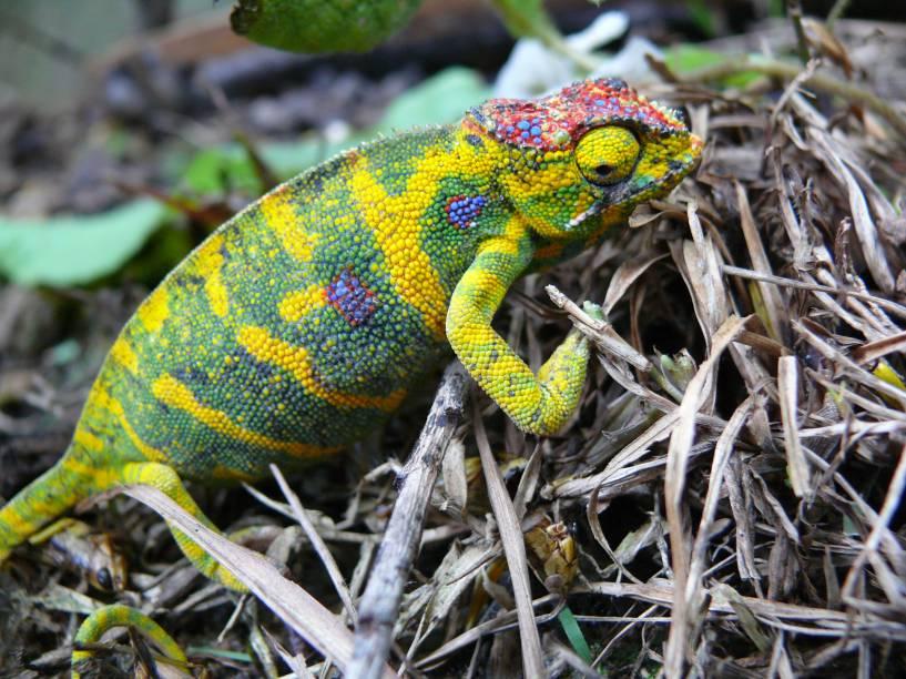 O <strong><em>Furcifer minor</em></strong> é um camaleão endêmico de Madagascar. Enquanto o macho tem um corpo miúdo e cores um tanto sem graça, as fêmeas da espécie se destacam por ser corpulentas e repletas de coloridos padrões.