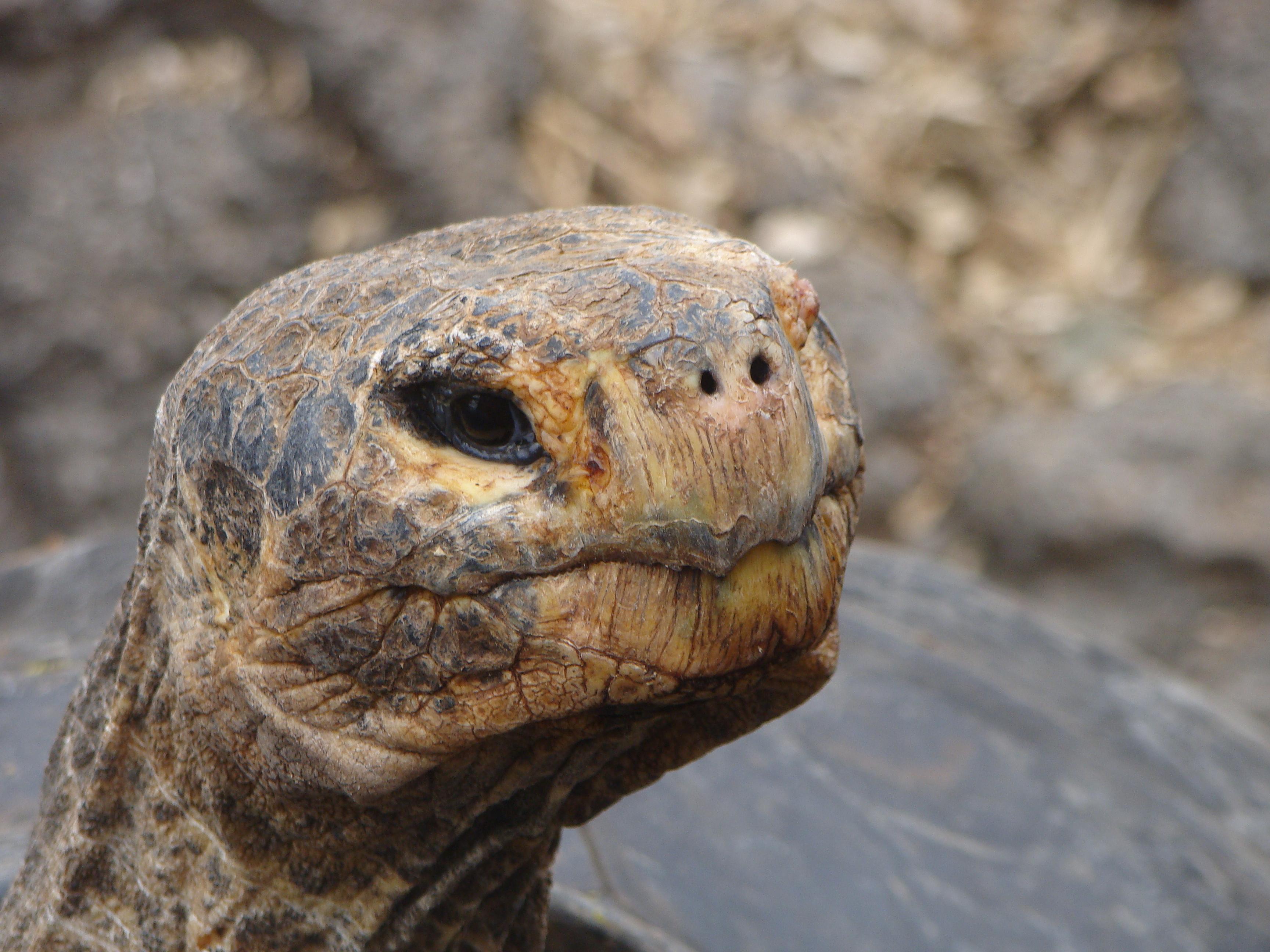 Tartaruga-gigante de Galápagos