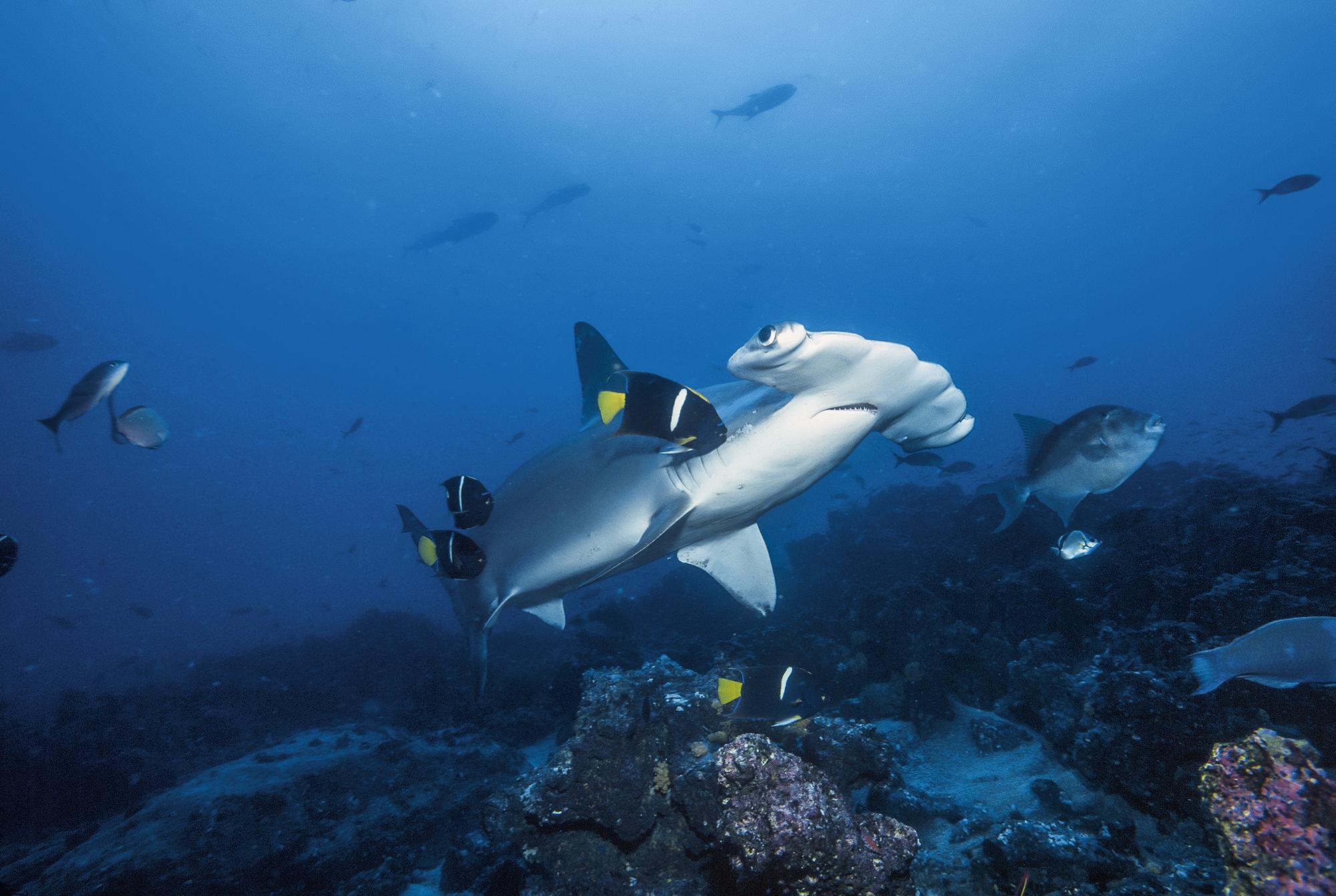 Tubarão-martelo, em Galápagos, Equador