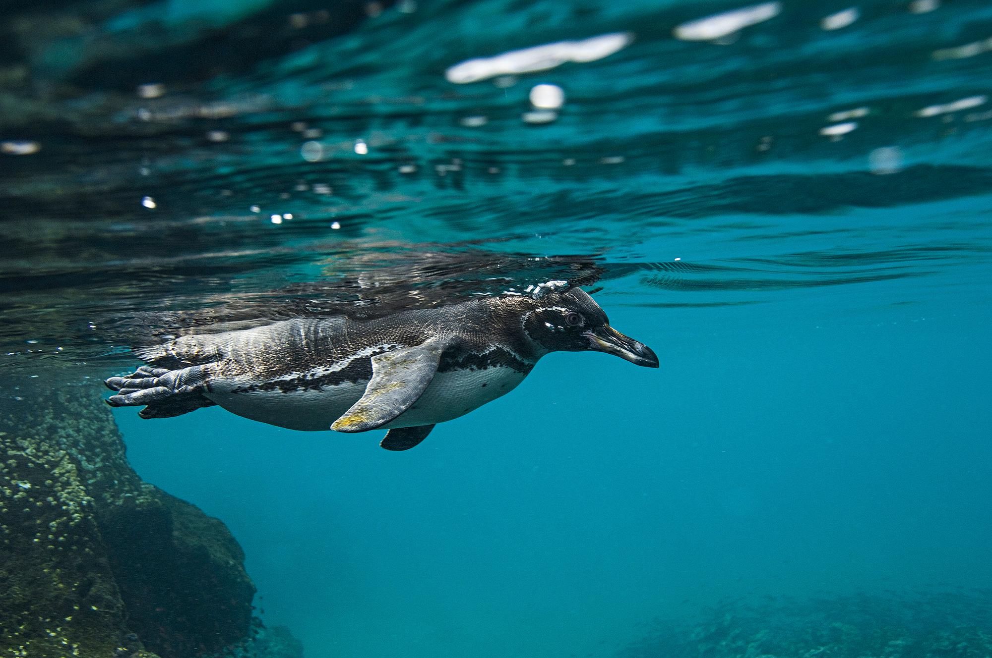 Pinguim do Arquipélago de Galápagos, Equador
