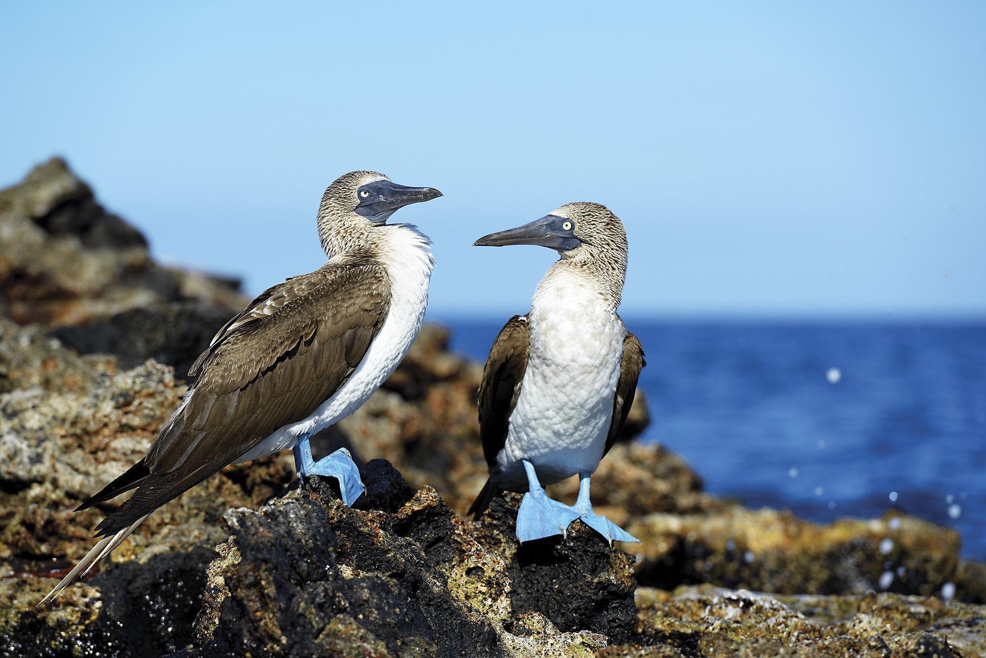Atobás de patas azuis, em Galápagos