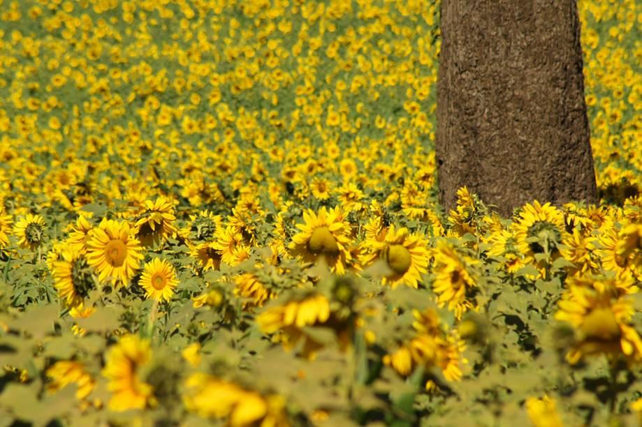 """<strong>9. Girassóis do Parque do Prado, <a href=""""http://viajeaqui.abril.com.br/cidades/br-sp-campinas"""" target=""""_blank"""" rel=""""noopener"""">Campinas</a>, <a href=""""http://viajeaqui.abril.com.br/estados/br-sao-paulo"""" target=""""_blank"""" rel=""""noopener"""">São Paulo</a></strong> O Parque do Prado fica em uma das regiões mais nobres de Campinas, na grande São Paulo. Ocupado por prédios e condomínios fechados, o bairro vem atraindo cada vez mais olhares por causa da plantação de girassóis. As flores foram cultivadas por uma construtora com o intuito de evitar o acúmulo de lixo jogado pela população local. O resultado deu certo e atraiu pessoas de cidades vizinhas para visitação, além de incentivar caminhadas e passeios de bicicleta pelo seu entorno. Mesmo não jogando mais lixo, há quem aproveite o passeio para cortar as flores e levá-las para casa como souvenir"""