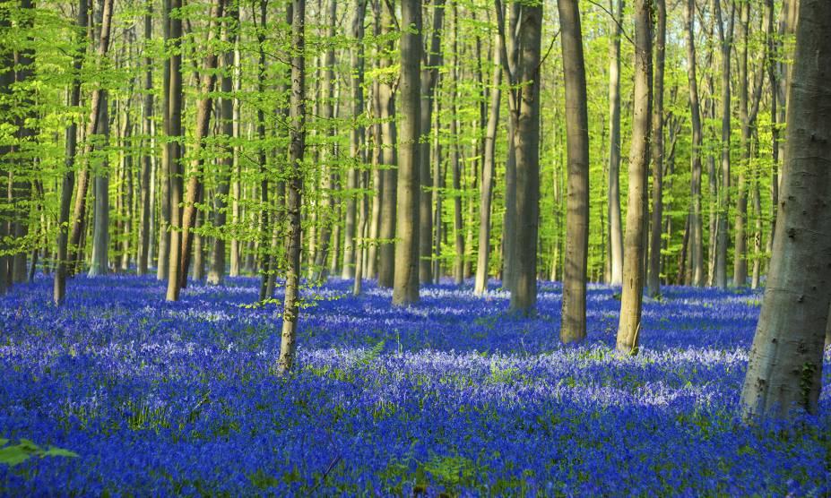 """<strong>1. Halles Forest (Hallerbos), Flemish Brabant, <a href=""""http://viajeaqui.abril.com.br/paises/belgica"""" rel=""""Bélgica"""" target=""""_self"""">Bélgica</a></strong>                            Popularmente conhecida como Floresta Azul, esse belo lugar abriga diversas faias entre seus sinuosos caminhos, convidativos a longos passeios. O melhor momento para visitá-la é entre abril e maio, quando a primavera chega ao Hemisfério Norte e o chão fica coberto com milhares de flores de jacinto – espécies comuns na <a href=""""http://viajeaqui.abril.com.br/continentes/europa"""" rel=""""Europa"""" target=""""_self"""">Europa</a>. Essa atmosfera de contos de fadas ganha ainda mais força com a presença ilustre de coelhos e cervos, que aparecem de vez em quando pra fazer companhia aos viajantes.                            <a href=""""http://www.booking.com/city/be/halle.pt-br.html?aid=332455&label=viagemabril-florestasencantadas"""" rel=""""Veja preços de hotéis próximos à Halle no Booking.com"""" target=""""_blank"""">Veja preços de hotéis em Halle no Booking.com</a>"""