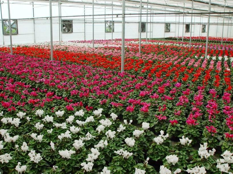 Estufa de cyclamen aberta para visitantes da Expoflora, em Holambra (SP)