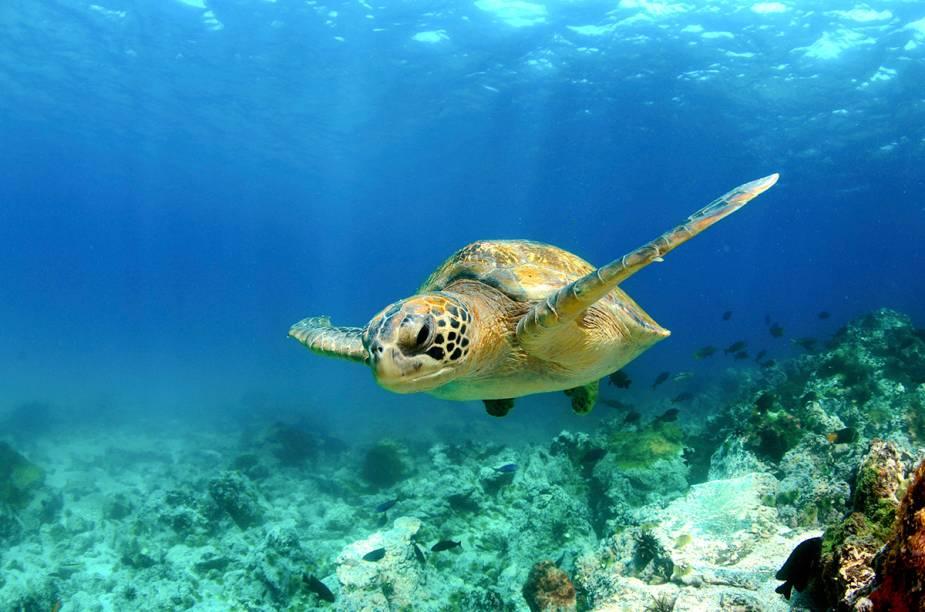 """<a href=""""http://viajeaqui.abril.com.br/cidades/equador-galapagos"""" rel=""""Ilhas Galápagos"""" target=""""_blank""""><strong>Ilhas Galápagos</strong></a>O arquipélago equatoriano de 13 ilhas, com apenas quatro habitáveis, é o destino perfeito para quem deseja ver animais como tubarões-martelo, leões-marinhos, pinguins, iguanas, golfinhos, arraias e tartarugas gigantes. A região ficou famosa após servir de inspiração para o pesquisador Charles Darwin elaborar a teoria da evolução, tanto que uma das ilhas mais famosas recebeu o sobrenome do naturalista. A outra mais importante é a Wolf. As duas são os melhores pontos de mergulho.Galápagos tem origem vulcânica e paredões submersos de até 3 km de profundidade. É um dos destinos mais virgens em mergulho no mundo. No entanto, é preciso experiência pela ocorrência de correnteza. Os melhores meses para mergulhar em Galápagos são dezembro, janeiro, maio e junho. A temperatura da água fica entre 21°C e 26°C. A língua oficial é o espanhol e a moeda é o dólar americano"""