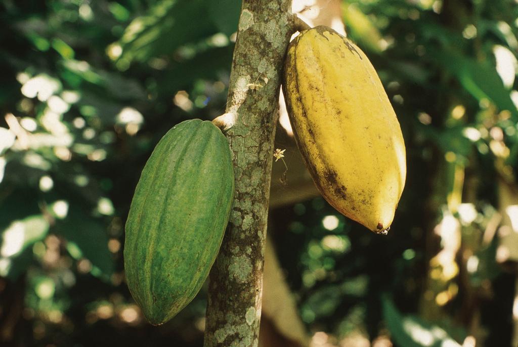 Região importante da produção cacaueira na Bahia, Itabuna, a 32km de Ilhéus, tem fazendas abertas para visita