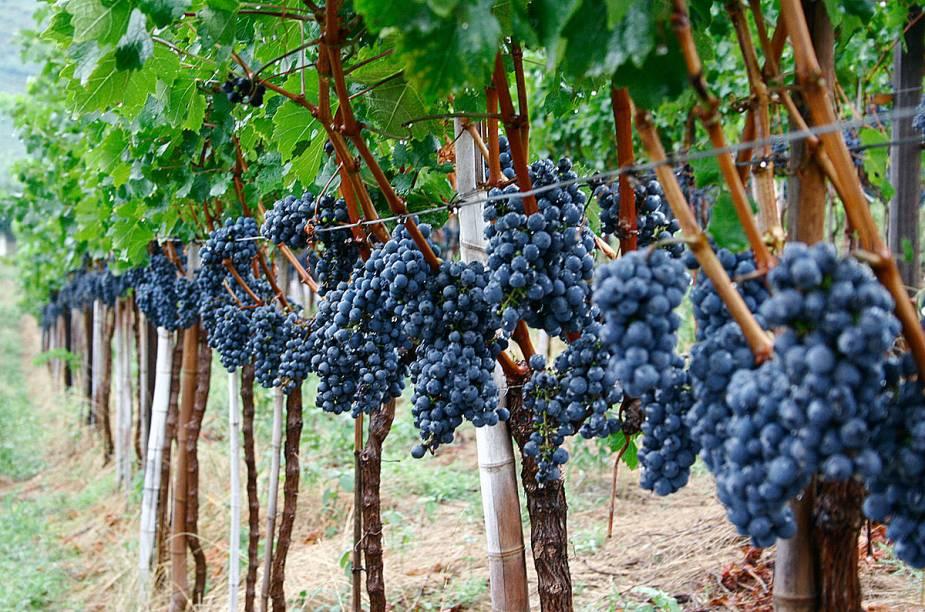 A época da colheita da uva é o período de celebração e comemoração nos vinhedos da Casa Valduga