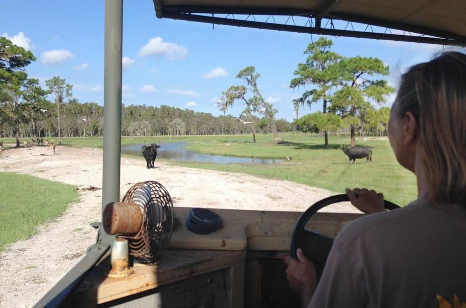 <strong>Safari Wilderness Ranch</strong>                                                        Sim, é possível aproveitar uma visita à Flórida para passear em um safári. No lugar dos campos de savana, estão os campos alagados do estado. A bordo de um veículo 4x4, o guia nos leva para conhecer rebanhos de várias espécies de quadrúpedes
