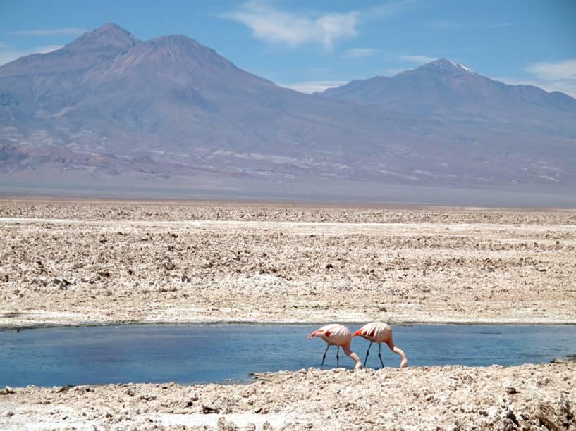 """No <a href=""""http://viajeaqui.abril.com.br/estabelecimentos/chile-san-pedro-de-atacama-atracao-salar-do-atacama"""">Salar do Atacama</a>, a cerca de 2300 metros de altitude, está o Parque Nacional dos Flamingos. A Laguna de Chaxa é um dos locais bons para observar as diversas espécies de flamingos de penas rosadas, que se alimentam de um pequeno camarão que vive na água salgada."""
