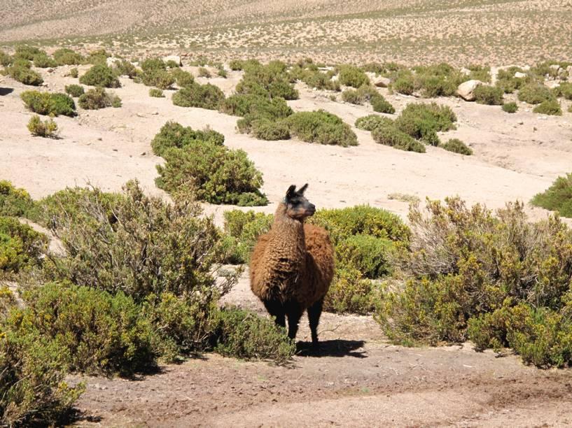 O simpático animal da família dos camelídeos costuma ser criado por povoados da região do Atacama, no Chile, assim como em seus países vizinhos. Dele se aproveita o couro, a lã e a carne. É possível provar a carne de lhama em San Pedro e nos povoados dos arredores, onde os espetinhos (<em>anticuchos</em>) fazem sucesso entre os turistas
