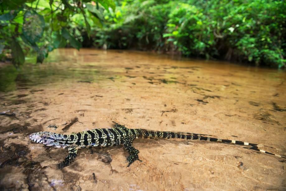 Olhei até ter certeza que era aquilo mesmo - um lagarto teiú (<em>Tupinambis teguixim</em>). Na água clara do riacho, mergulhado! Jamais vira coisa assim em anos de andanças na Mata Atlântica. Entramos no rio, e ele permaneceu onde estava, com dois palmos de água sobre o corpo. Foi quando fiz esta imagem inusitada