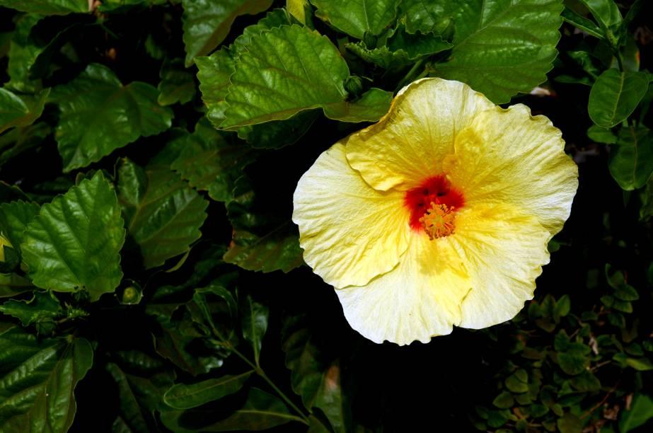 <strong>Flor nacional</strong><br />Existem cerca de 300 espécies de hibisco, a flor considerada símbolo do Havaí. Muito cultivada também no Brasil, por causa do clima tropical, a planta é utilizada para fazer colares e coroas, de uso comum nos luaus, e serve de motivo para a estamparia de roupas e objetos
