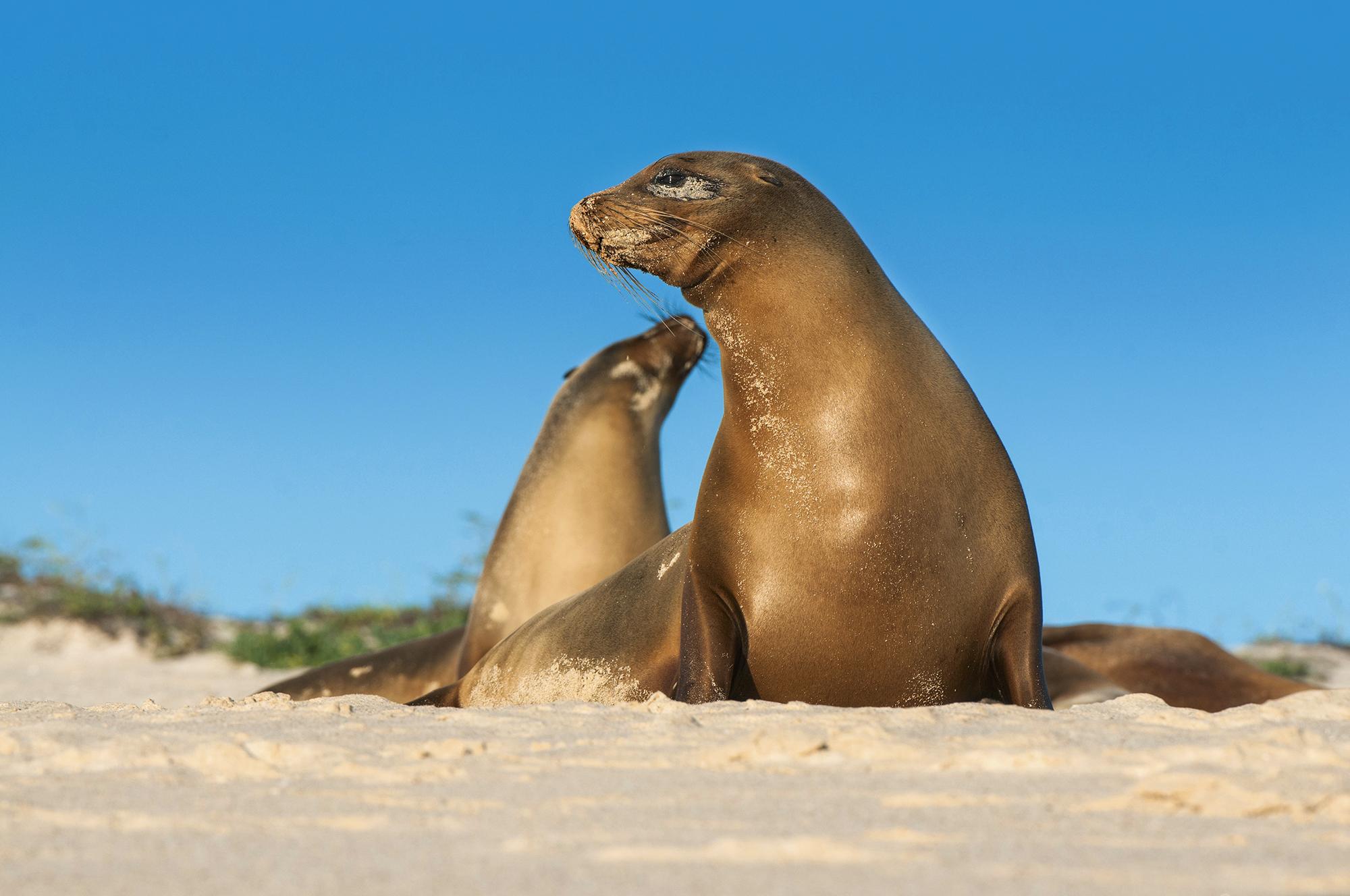 Lobos-marinhos de Galápagos, Equador