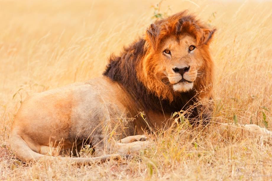 """Além do leão, o Quênia conta com outros grandes mamíferos da África conhecidos como """"Big Five"""". Apesar do nome, estes animais não levam esta alcunha graças a seu tamanho, mas devido a dificuldade de ser caçados pelos homens. Entre eles, ainda estão o elefante, o búfalo, lo eopardo e o rinoceronte"""