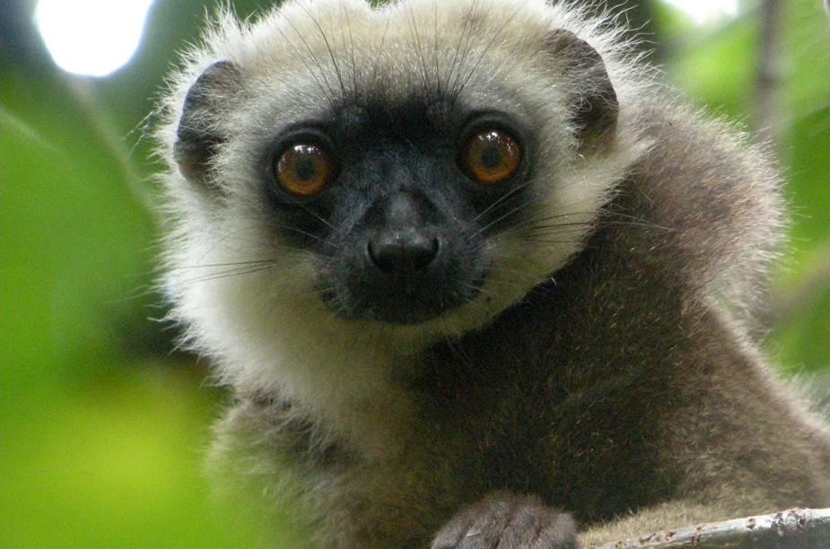 Lêmure em Madagascar