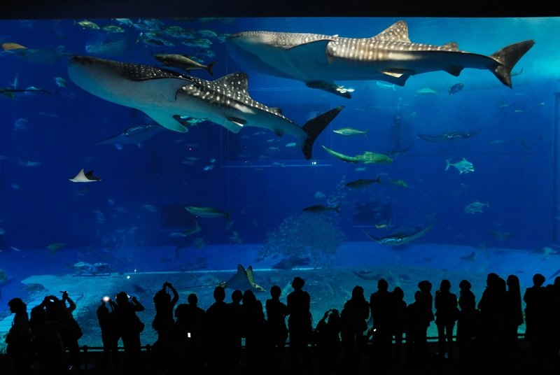 """<strong>Okinawa Churaumi Aquarium, Japão</strong>Um tanque gigantesco chamado de Kuroshio Sea Tank é a principal atração do Okinawa Churaumi Aquarium. <a href=""""http://viajeaqui.abril.com.br/materias/fotos-dos-maiores-animais-do-planeta"""" rel=""""Tubarões-baleia"""" target=""""_self"""">Tubarões-baleia</a>, os maiores peixes do mundo, dividem o espaço com raias e passam como se estivessem flutuando bem diante de seus olhos"""