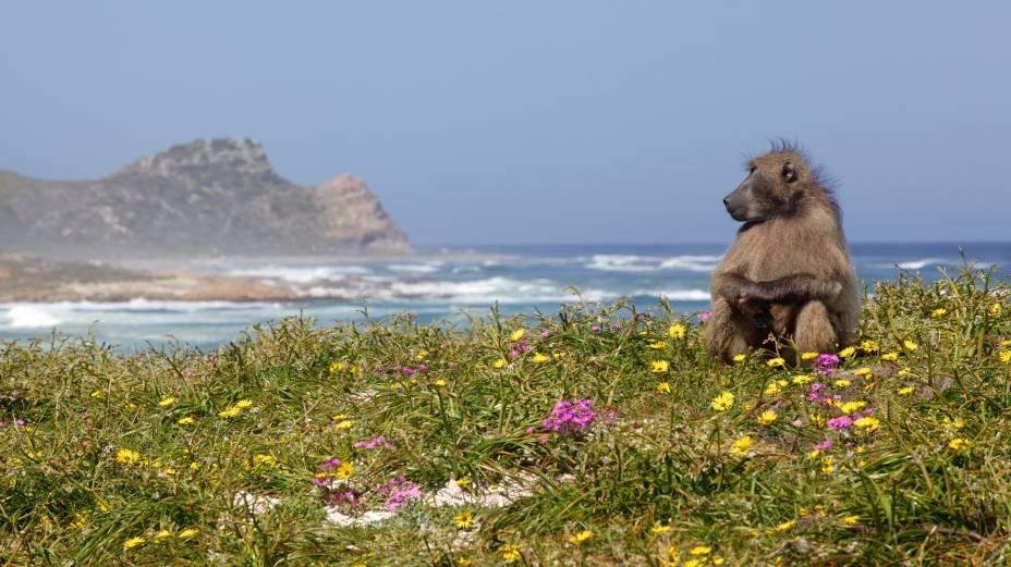 """Macacos babuínos podem ser avistados nas praias do parque nacional do Cabo da Boa Esperança, na <a href=""""http://viajeaqui.abril.com.br/cidades/africa-do-sul-cidade-do-cabo"""" rel=""""Cidade do Cabo"""" target=""""_blank"""">Cidade do Cabo</a>, <a href=""""http://viajeaqui.abril.com.br/paises/africa-do-sul"""" rel=""""África do Sul"""" target=""""_blank"""">África do Sul</a><strong>LEIA MAIS: <a href=""""http://viajeaqui.abril.com.br/vt/blogs/achados/2016/01/25/adriana-setti-x-babuinos-um-relato-tragicomico-na-africa-do-sul/"""" rel=""""um relato (engraçado) de um encontro da nossa blogueira com babuínos na praia"""" target=""""_blank"""">um relato (engraçado) de um encontro da nossa blogueira com babuínos na praia</a></strong>"""