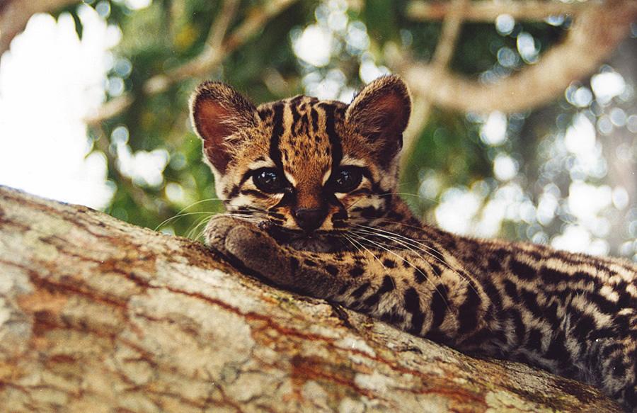 """Filhote de jaguatirica na região do <a href=""""http://viajeaqui.abril.com.br/estabelecimentos/br-am-manaus-hospedagem-amazon-ecopark-lodge"""" rel=""""Amazon Ecopark Lodge"""" target=""""_blank"""">Amazon Ecopark Lodge</a>, em Manaus (AM), hospedagem na selva indicada pelo <a href=""""http://viajeaqui.abril.com.br/materias/guias-guia-brasil-2012"""" rel=""""GUIA BRASIL 2012"""" target=""""_blank"""">GUIA BRASIL 2012</a>"""