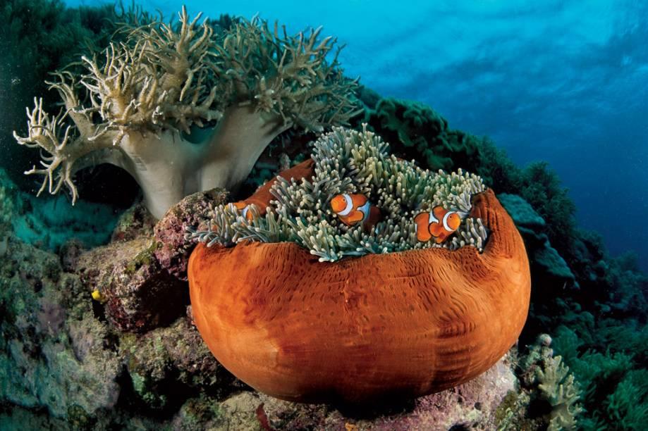 Ao cair da noite, uma anêmona-do-mar contrai-se e fica parecida com um vaso de argila. Os tentáculos que permanecem expostos são suficientes para fornecer abrigo aos peixes-palhaço residentes, que podem crescer até 7 centímetros. A cor do corpo desta anêmona varia entre laranja, rosa, azul, verde, vermelho e branco
