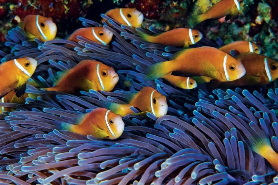 Uma jangada de peixes-palhaço juvenis das Maldivas enfrenta a correnteza. Os dois maiores do grupo serão o par reprodutor da anêmona