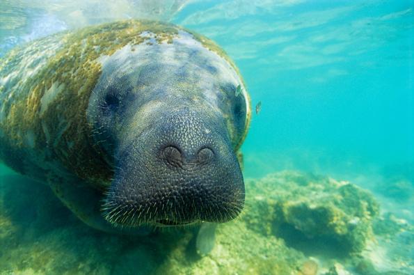 Edição 128 – Peixe vivo – Peixe-boi no mar de Alagoas – Fotos Peixe-boi marinho no Brasil