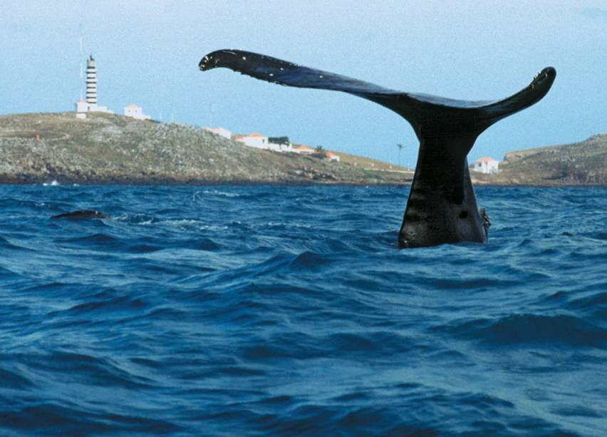 A população de baleias-jubarte tem aumentado 7% por ano e a expectativa de vida delas é de 60 anos
