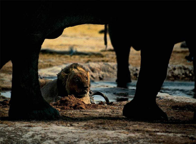 Normalmente, leões e elefantes africanos não se aproximariam. Na estação seca, porém, esta é a única reserva de água na área do Parque Nacional de Chobe, em Botsuana