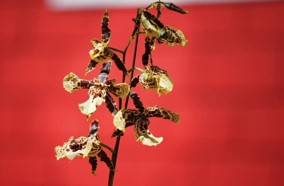 Oncidium, uma das novidades apresentadas na Expoflora