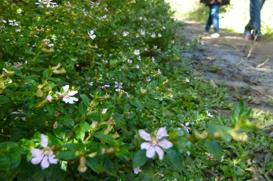 Delicadas florezinhas rasteiras acompanham os passos dos visitantes
